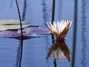 Okavango Delta -Water Lilly