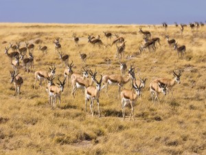 Namibia - Ethosa-Springbok