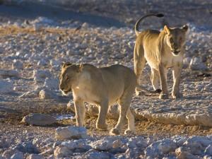 Namibia - Ethosa - Lions