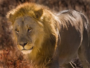 Namibia - Ethosa - Lion