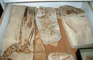 Fossili tal-ħut