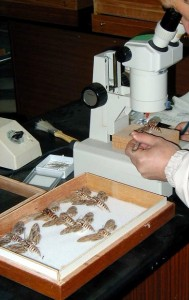 Waqt riċerka entomoloġika