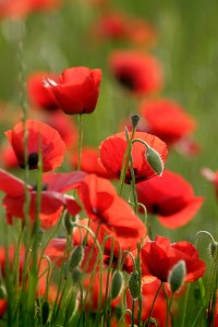 Pepprin (poppies)
