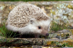 Qanfud (hedgehog)