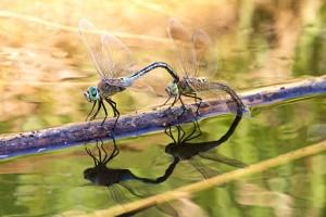 Id-debba tax-xitan (dragonflies)