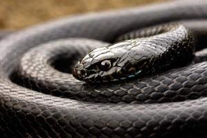 Serp (snake)
