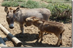 Sardinia's native donkeys