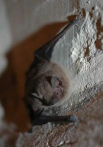 Common Pipistrelle2