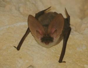 Grey Long-eared Bat2
