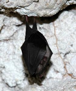 Lesser Horse-shoe Bat2
