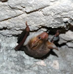 Maghrebian Bat2
